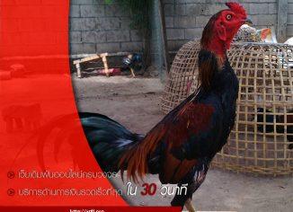 วิธีสังเกตกูไก่ชนพม่า